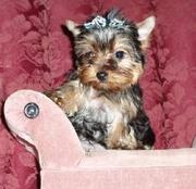 Home trained Yorkshire terrier puppies for adoption