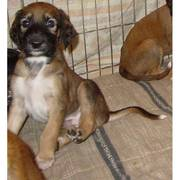 home trained saluki puppies